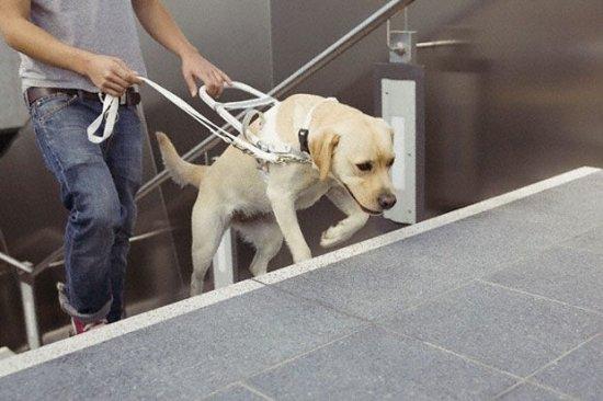 Собака-поводырь для инвалидов